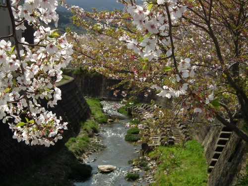 110413tonegawasakura2.jpg