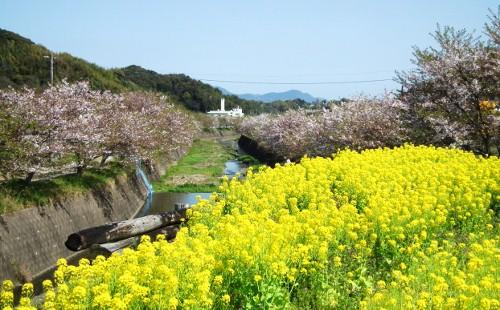 110413tonegawasakura3.jpg