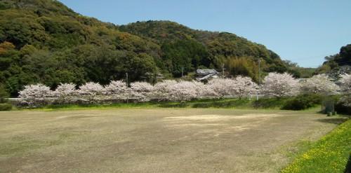 110414nakayamasakura1.jpg