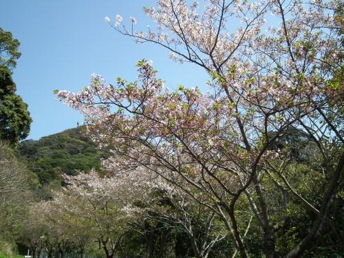 110414nakayamasakura2.jpg