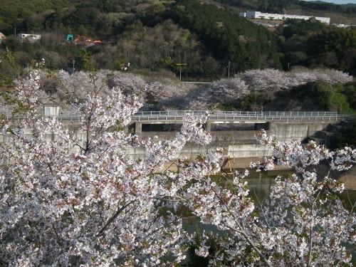 110416sakurayama4.jpg