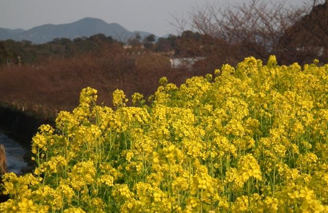 20120327tonenanohana1.jpg