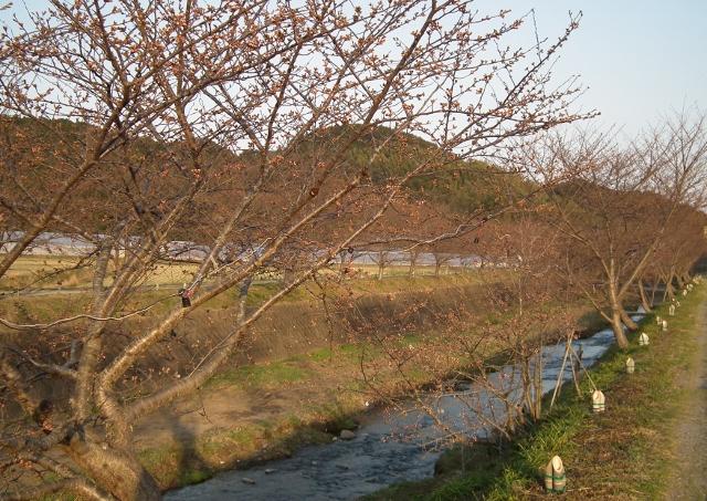 20120327tonesakura1.jpg