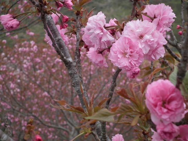 20120414sakura2.jpg