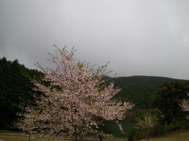 20120415sakura1.jpg