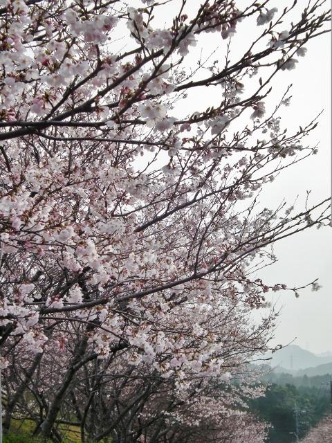 20130323sakura13 (480x640).jpg
