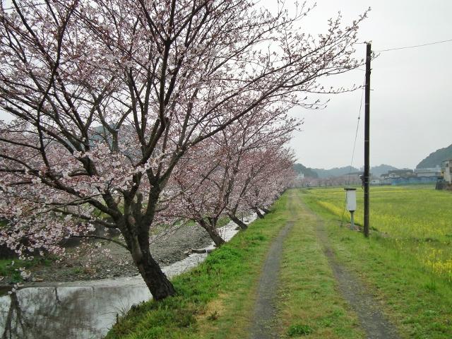 20130323sakura5a (640x480).jpg