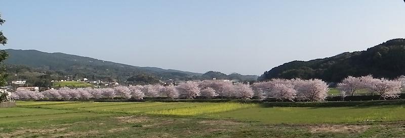 20130329sakura1.jpg