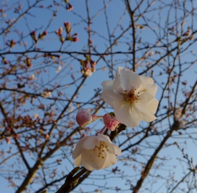 20150327sakura2.jpg