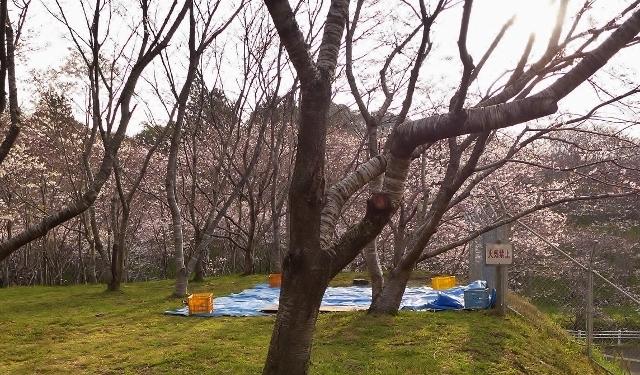 20150329sakuranosato3.jpg
