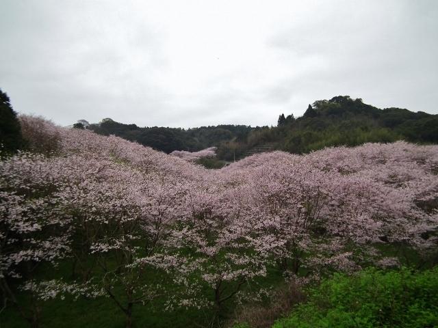 20150402sakura1.jpg