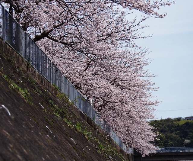 20160402sakurahatirougawa1.jpg