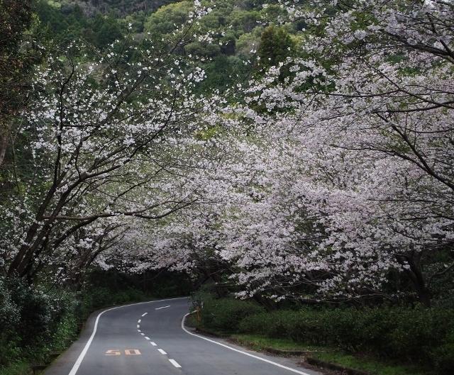 20160402sakuramoriyama.jpg