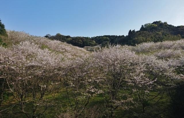 20170414sakurayama1.jpg